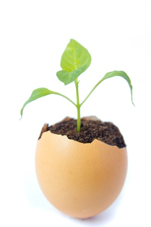 Young green plant grow in eggshell isolated on white background. Development, new life, birth or revival concept. photo