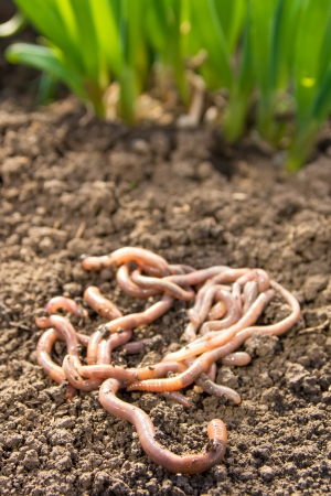 earthworm: Earthworms group on earth patch close up. Agriculture or fishing concept.