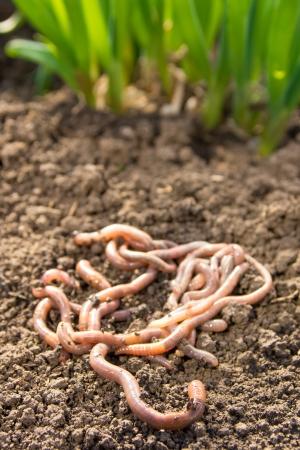 lombriz de tierra: Las lombrices grupo de patch tierra cerca. Agricultura o el concepto de pesca.