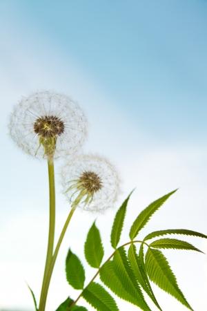 vetical: Dos dientes de le�n blanco con hierba verde (hojas) sobre el cielo azul, d�a soleado de verano, espacio de la copia Foto de archivo