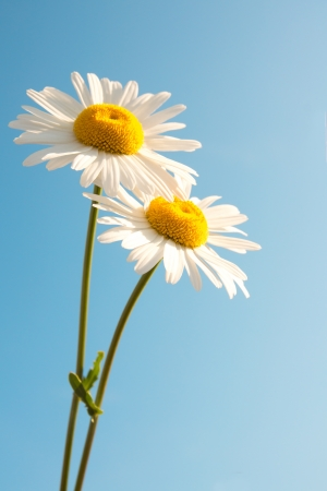 Two beautiful white flowers daisies over clear blue sky. Summer concept, vertical, copy space