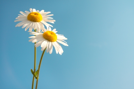 yellow daisy: Two beautiful white flowers daisies over clear blue sky. Summer concept, horizontal, copy space