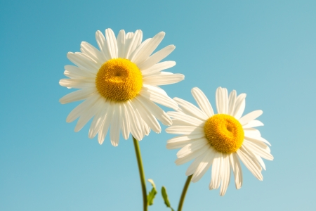 Two beautiful white flowers daisies over clear blue sky. Summer flower concept, horizontal photo