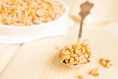 sprouted: Sprouted wheat seeds on spoon and plate and wooden background, close up, selective focus