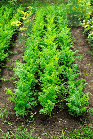 carrot: Carrot patch, growing organic vegetables in the garden Stock Photo