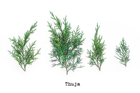 Thuja evergreen plant branches collection on white background.