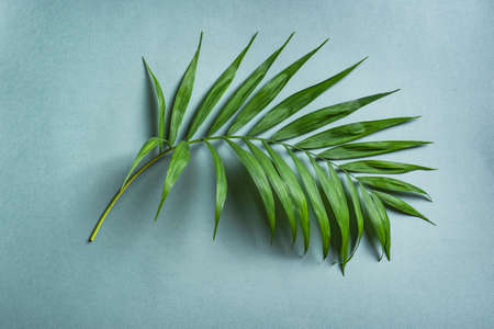 Palm Leaf on blue background, top view. Green exotic plant foliage trendy creative layout.