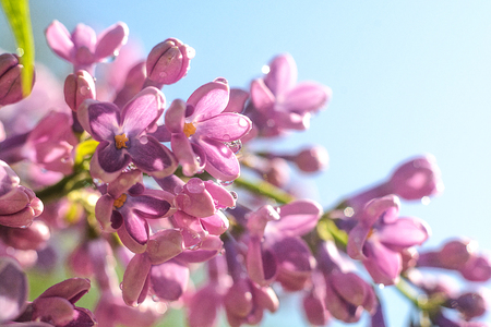 Opened lilac buds with dew in the early morning in the botanical garden in the spring Stock Photo