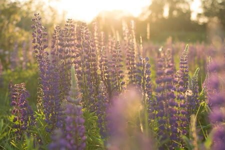 Sunny field with flowers (lupins). Natural background. Soft focus.