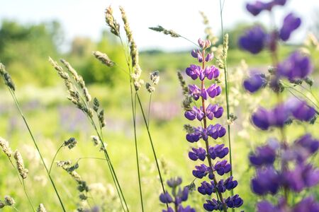 Sunny field with flowers (lupins). Natural background. Stock Photo