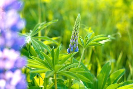 Young buds of not revealed flowers - lupins among the green field in early spring. Natural background. Stock Photo