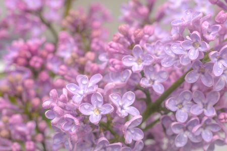 Spring lilac flowers in the early morning. Natural background.