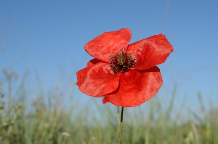 A close up of a beautiful poppy photo