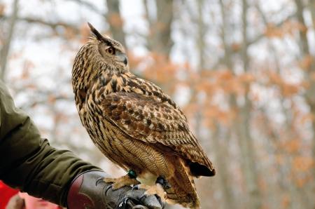 Portrait of a great horned Owl Bubo viriginianus
