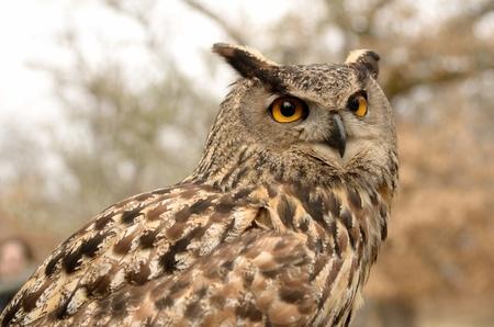 Portrait of a great horned Owl Bubo viriginianus Stock Photo