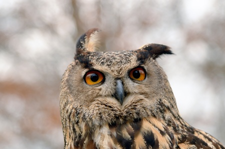 Portrait of a great horned Owl Bubo viriginianus photo