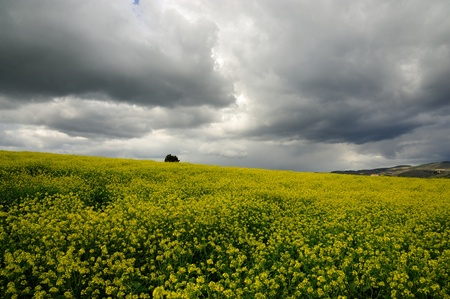 bad weather: Beautiful gray clouds on a canola field in Tuscany