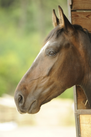 A portrait of a beautiful brown horse photo