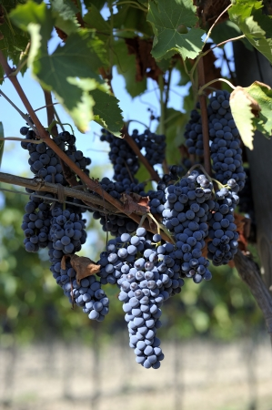 purple red grapes with green leaves on the vine. fresh fruits Stock Photo