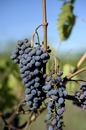 purple red grapes with green leaves on the vine. fresh fruits photo