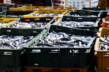 Il pesce fresco al porto di KRK la mattina presto