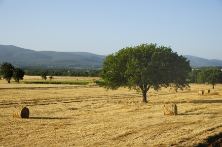 Round bales of straw in the meadow photo
