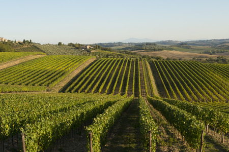 podere: Vineyeard in Chianti, Toscany, Italy, famous landscape