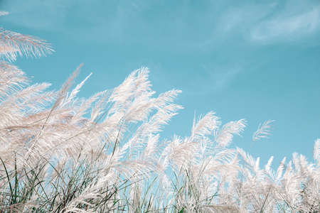 grayish grass flower is blown by the wind on blue sky background Archivio Fotografico