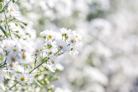 Beautiful White Michaelmas Daisy flowers in soft style for nature scene background