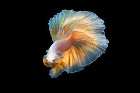 Beautiful betta fish or fighting fish moving moment of colourful half moon tail isolated on black background Archivio Fotografico