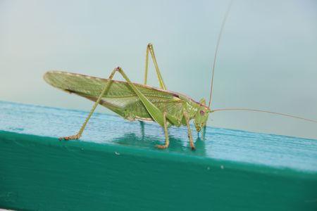 Locust or grasshopper from side