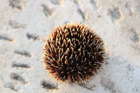 Brown sea urchin available in high-resolution and several sizes to fit the needs of your project