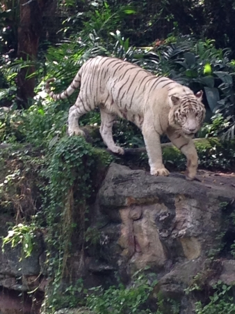 otganimalpets01: Bengal white tiger in Singapore Zoological Garden can be found in Southeast Asia. Stock Photo