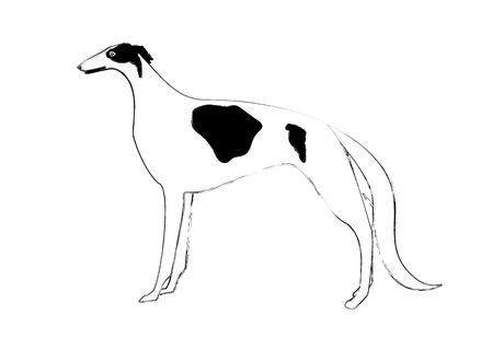 borzoi: Borzoi coat color white and black Illustration