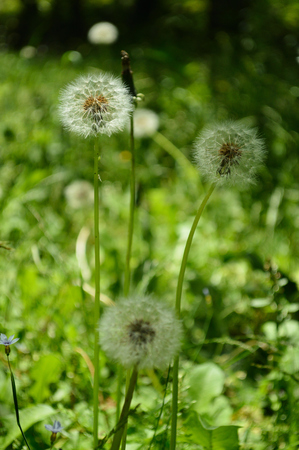Yellow dandelion changes to white fluff in sunny Park