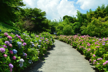 A sunny park where many hydrangea bloom
