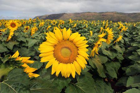 giant sunflower: Giant Sunflower Stock Photo