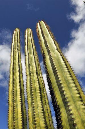 Giant Green Cactus