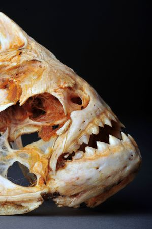 Large Piranhas from the Amazon River. Stock Photo - 5195223