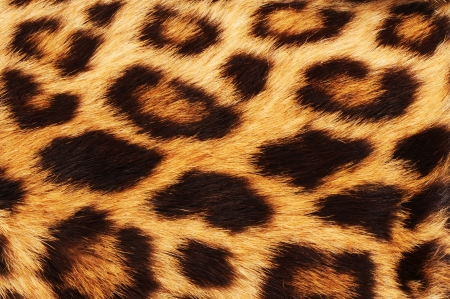 Real leopard skin spots. Stock Photo - 6136974