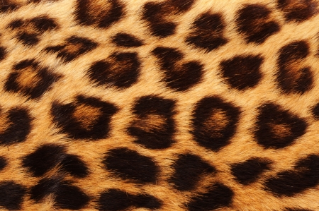 leopard skin: Real leopard skin spots.