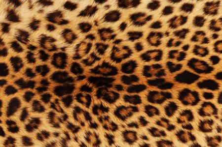 Real leopard skin .