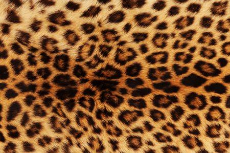 leopard cat: Real leopard skin .