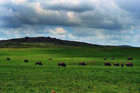 buffalo grass: American Buffalo