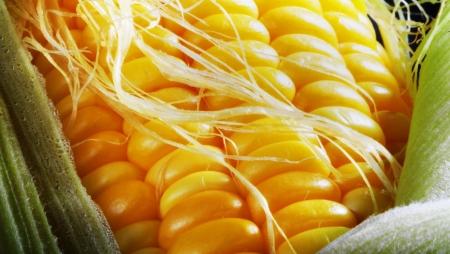 corn yellow: Un d�a de mal pelo de ma�z amarillo.