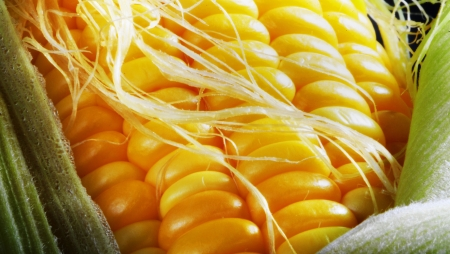 Yellow corn having a bad hair day. Stock Photo