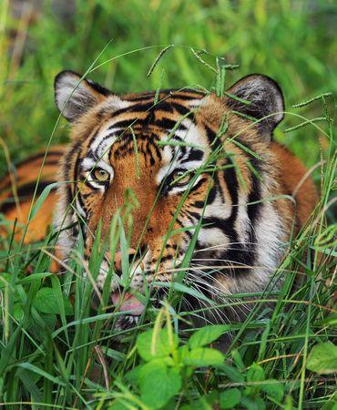 Bengal Tiger Reklamní fotografie