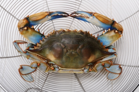 blue crab: Maryland Blue Crab from the Chesapeake Bay. Stock Photo