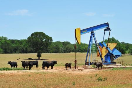 yacimiento petrolero: Pumper de pozos de petr�leo con ganado de Brahma en el oeste de Texas. Foto de archivo