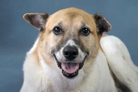 Akita Shepard Dog Mix. Stock Photo - 10415416